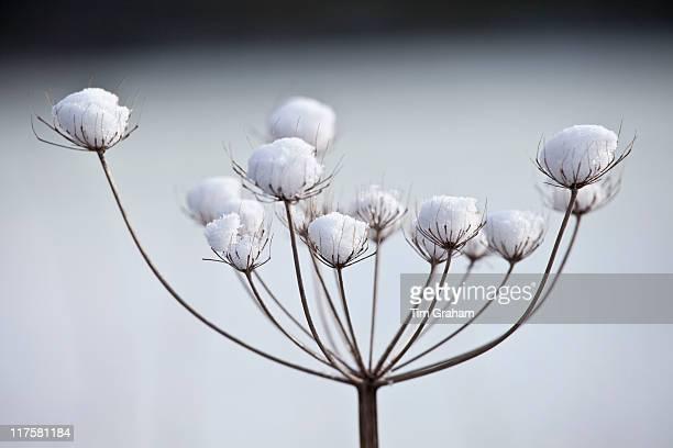 Winter scene hoar frost on giant hogweed The Cotswolds UK