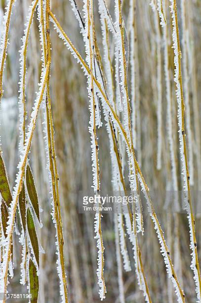 Weeping Willow Tree In Winter