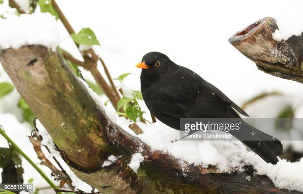 a winter scene of a stunning male blackbird (turdus merula) perched on a tree stump covered in snow. - blackbird stock pictures, royalty-free photos & images