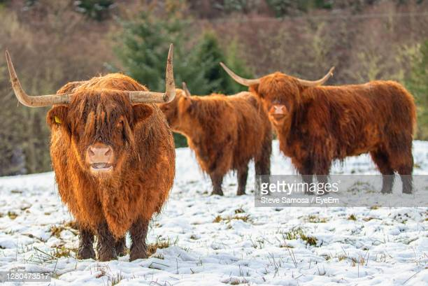 winter scene of highland cows - widnes stock pictures, royalty-free photos & images