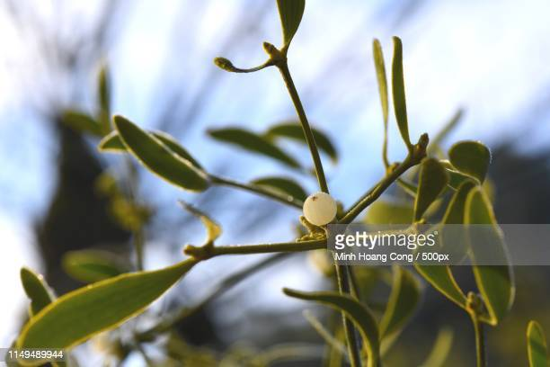 winter scene - what color are the berries of the mistletoe plant stock pictures, royalty-free photos & images