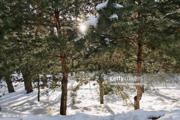 Winter Scenics. Shining sun between trees with fir full of snow.