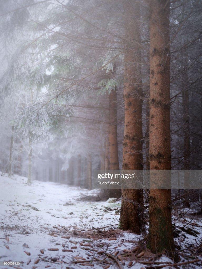 Winter serene scene, frozen misty spruce forest : Stock-Foto