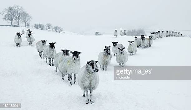 winter sheep v formation - cumbria stock pictures, royalty-free photos & images
