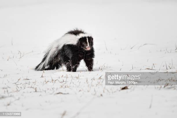 winter skunk - skunk stock pictures, royalty-free photos & images