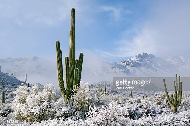 Winter snow and lowlying clouds grace the Sonoran Desert with unexpected beauty Carnegiea gigantea or Cereus giganteus Saguaro cactus in foreground...