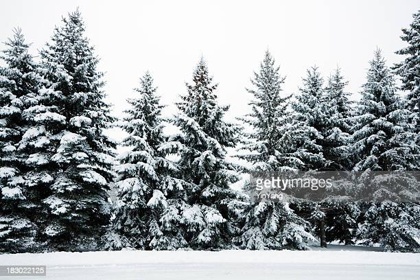 winter snow covering evergreen pine tree woods forest landscape, minnesota - minnesota bildbanksfoton och bilder