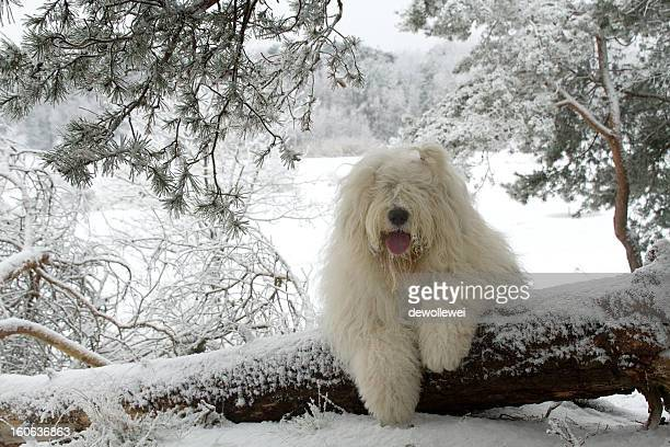 winter snow dog - old english sheepdog stock pictures, royalty-free photos & images