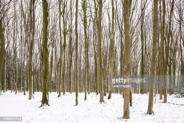 Winter snow in a beech woodland at Wrington Hill.