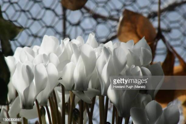 winter spring white flowers - howard pugh stock pictures, royalty-free photos & images