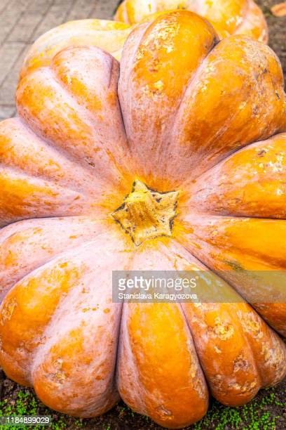 closeup harvested fairytale pumpkin for sale