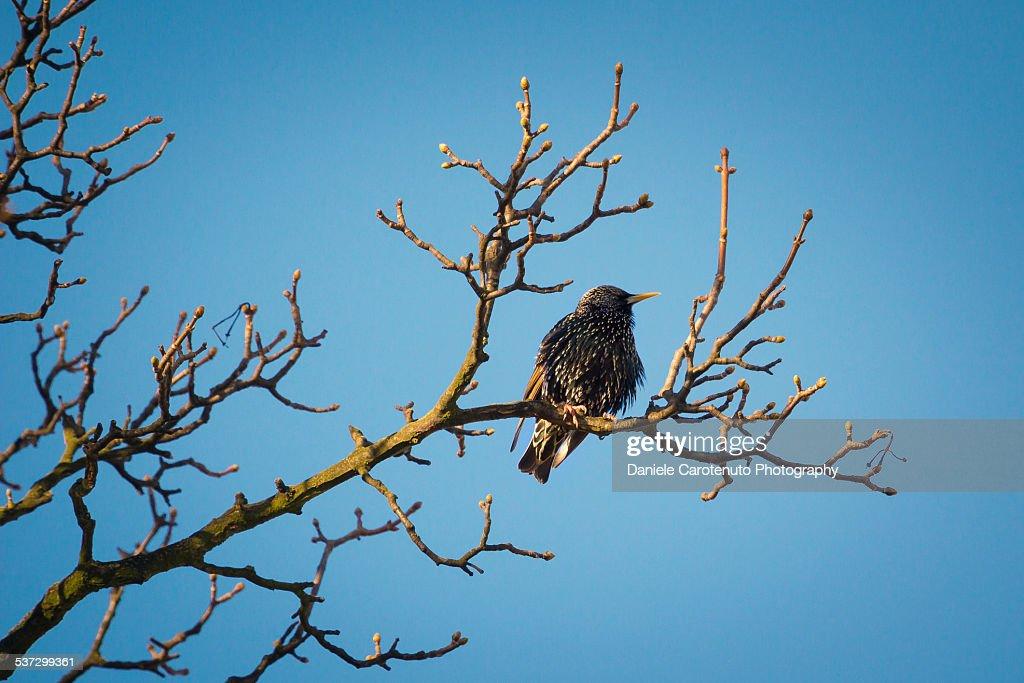 Winter starling : Stock Photo