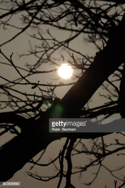 Winter sun through a silhouetted tree.