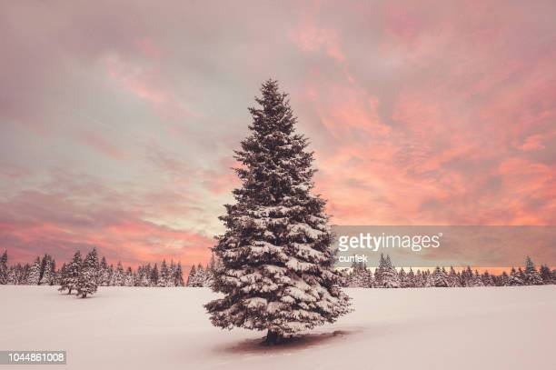 winter sunset - pinaceae stock pictures, royalty-free photos & images