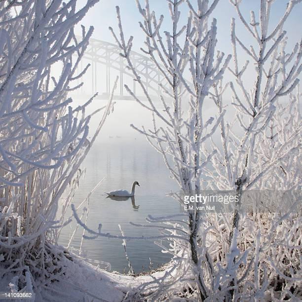 Winter Swan