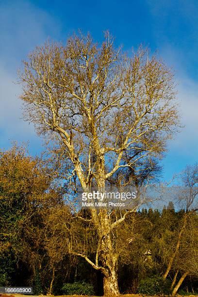 Winter Sycamore tree