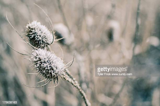 winter thistle - sursly stock pictures, royalty-free photos & images