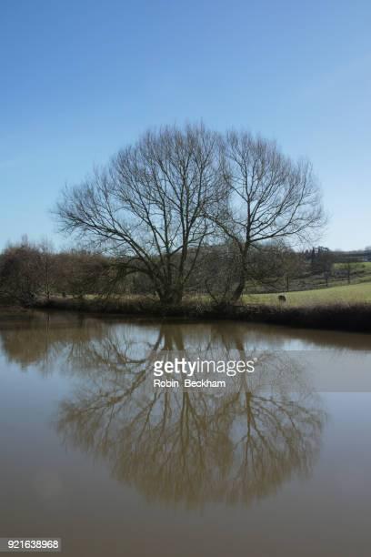 Winter tree by riverbank. Teston, Medway.