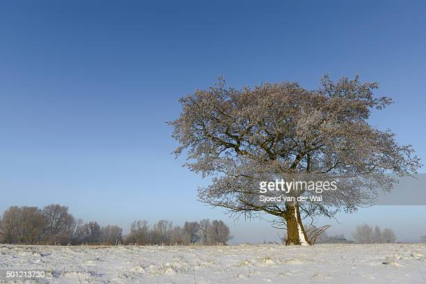 """winter tree in a snowy landscape - """"sjoerd van der wal"""" or """"sjo"""" stock pictures, royalty-free photos & images"""