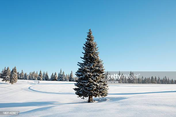 winter tree - spruce tree stock pictures, royalty-free photos & images