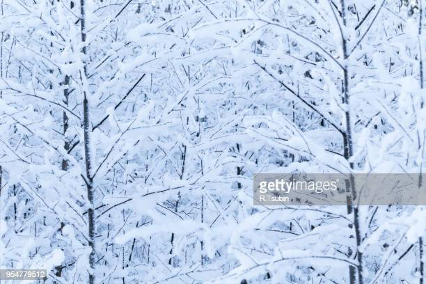 Winter trees background. Winter landscape with trees