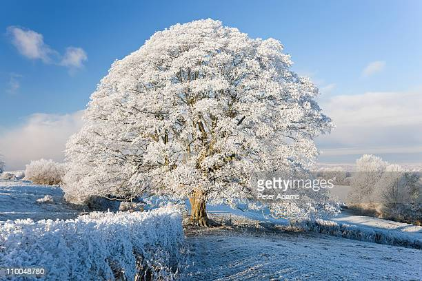 winter trees covered in hoar frost & snow - peter adams stock pictures, royalty-free photos & images