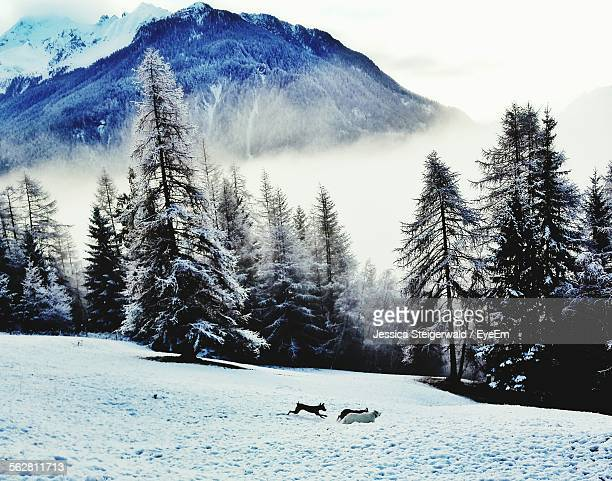 Winter View Of Forest With Pine Trees