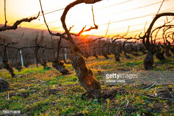 winter vineyards in france. - gironde stock pictures, royalty-free photos & images