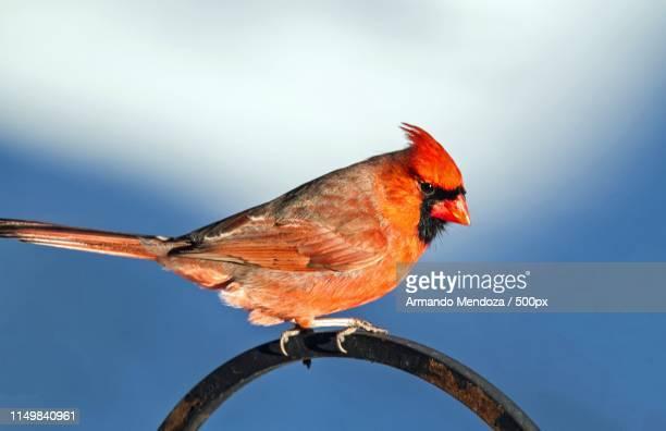 winter vivid colors ! - blue cardinal bird stock pictures, royalty-free photos & images