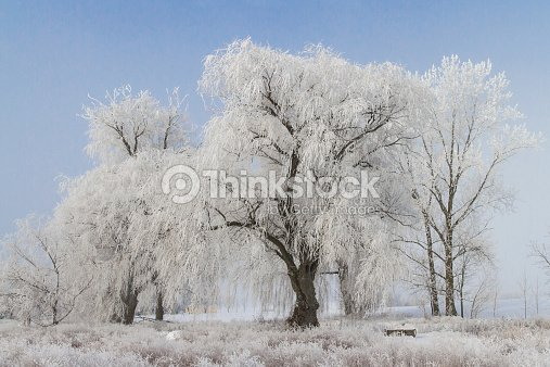 Winter Weeping Willow Tree Stock Photo Thinkstock
