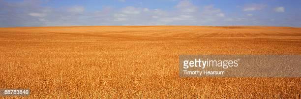 winter wheat ready for harvest - timothy hearsum stock-fotos und bilder