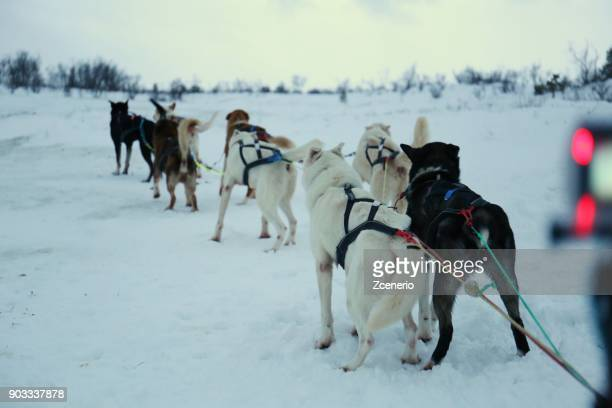 Winter white landscape with dog sledging along the winter forest.