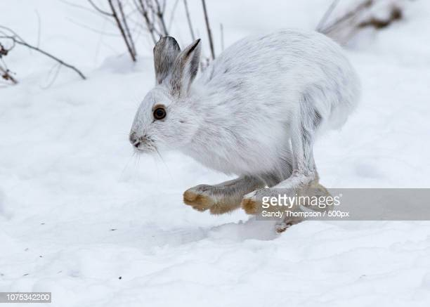 winter white - white rabbit stock pictures, royalty-free photos & images