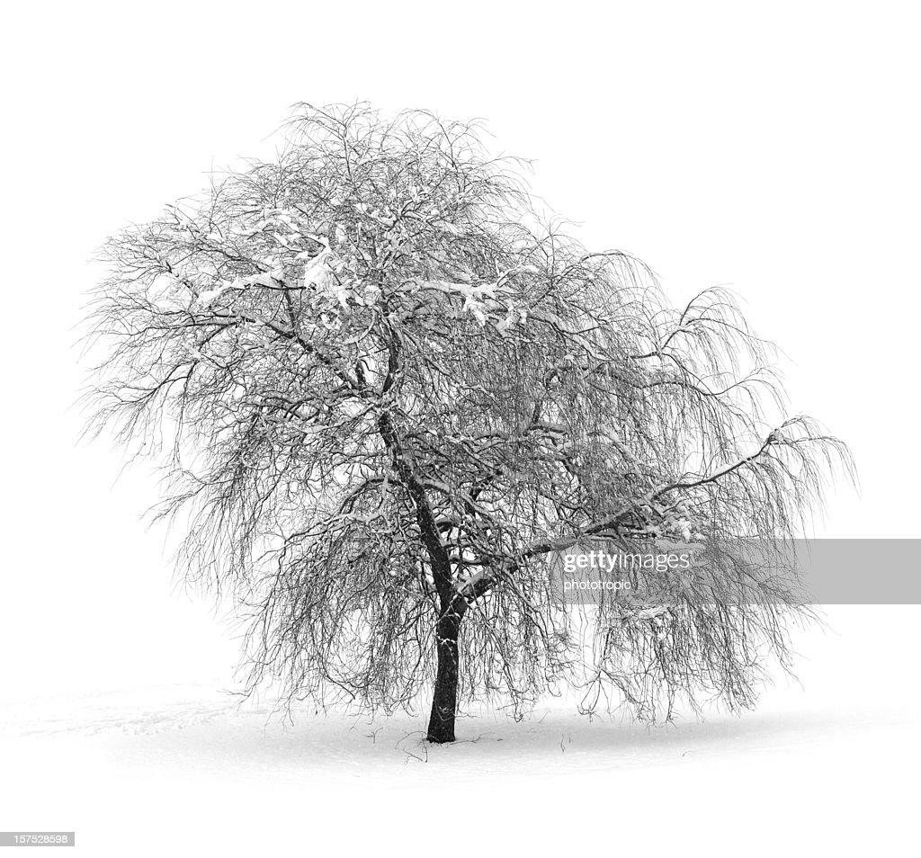 Winter Willow tree : Stock Photo
