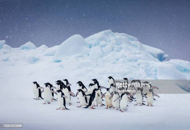 winter wonderland - adelie penguin stock pictures, royalty-free photos & images