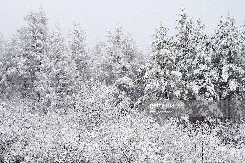Winter wood : Stock Photo