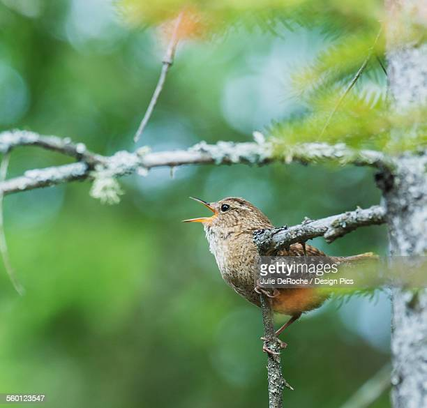 Winter Wren (Troglodytes hiemalis) singing