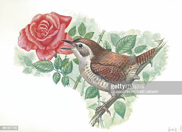 Winter Wren sitting on Wild Rose illustration