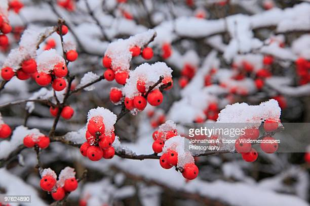 Winterberry Holly (Ilex Verticellata)