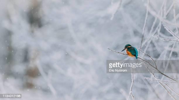 winterland - fågel imagens e fotografias de stock