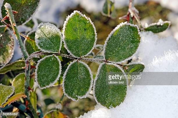 Winterlicher Rosengarten mit bereiftem Rosenlaub