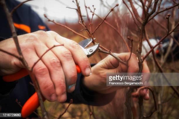 winter/spring pruning of fruit plants(blueberries) with shears. - italia stock-fotos und bilder
