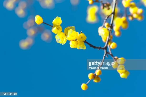 wintersweet flowers - bud stock pictures, royalty-free photos & images