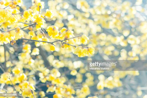 Wintersweet Flowers