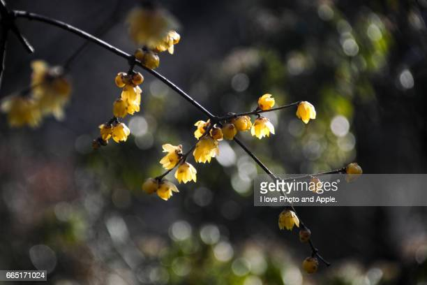 wintersweet - 一月 stock pictures, royalty-free photos & images