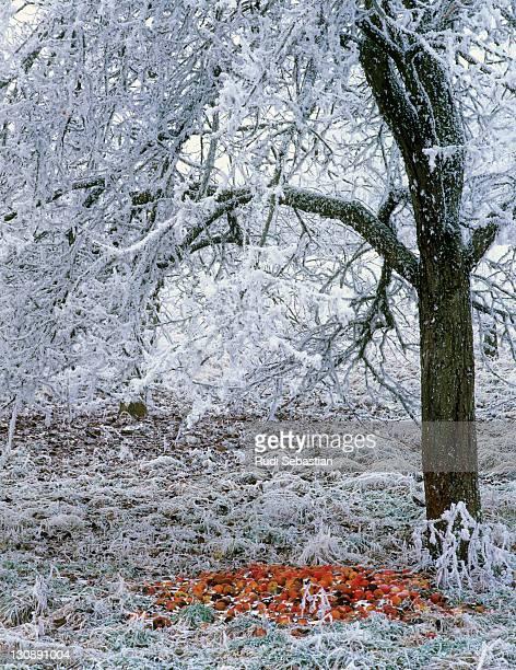 Wintery apple tree with windfalls