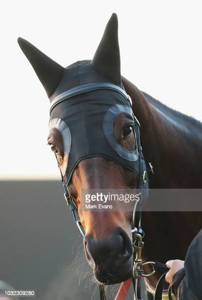 Winx looks on after a gallop during a dawn trackwork session at Rosehill Gardens on September 13 2018 in Sydney Australia