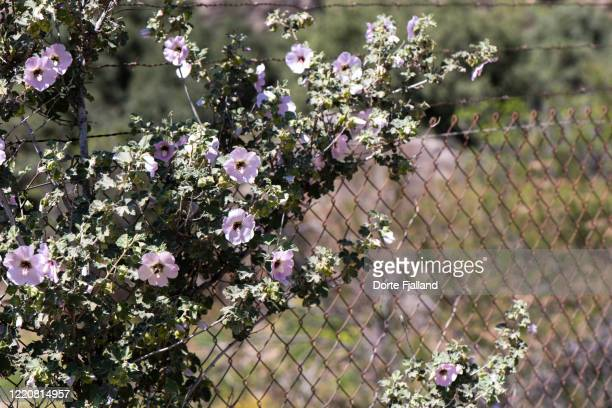 wire fence with a blooming pale pink hibiscus - dorte fjalland photos et images de collection