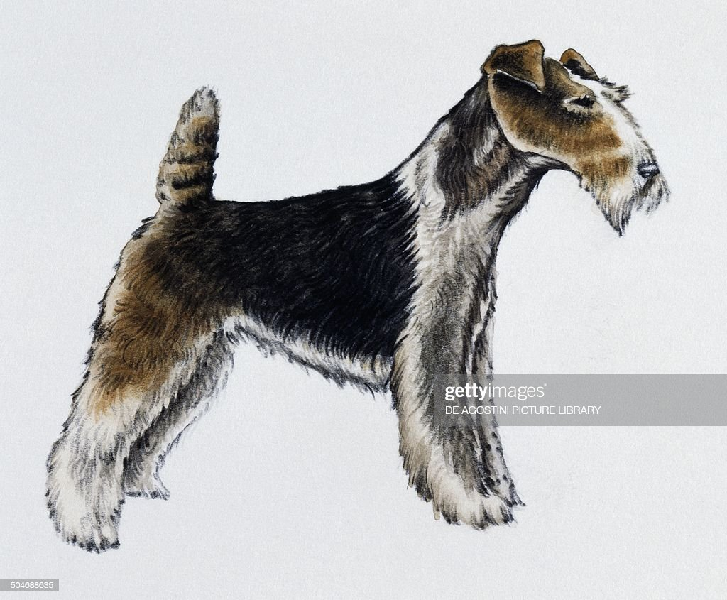 Wire fox Terrier, Canidae Pictures | Getty Images