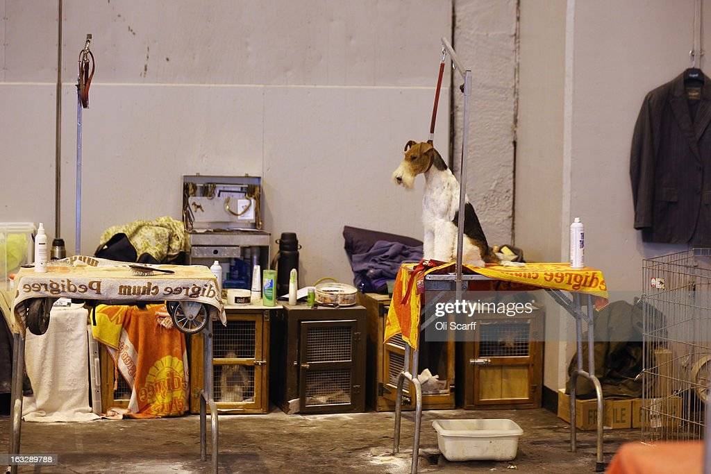 A wire fox terrier dog waits to be groomed on the first day of Crufts dog show at the NEC on March 7, 2013 in Birmingham, England. The four-day show features over 25,000 dogs, with competitors travelling from 41 countries to take part. Crufts, which was first held in1891, sees thousands of dogs vie for the coveted title of 'Best in Show'.